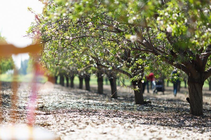 Mandelfruktträdgård med kala träd i vinter royaltyfria bilder
