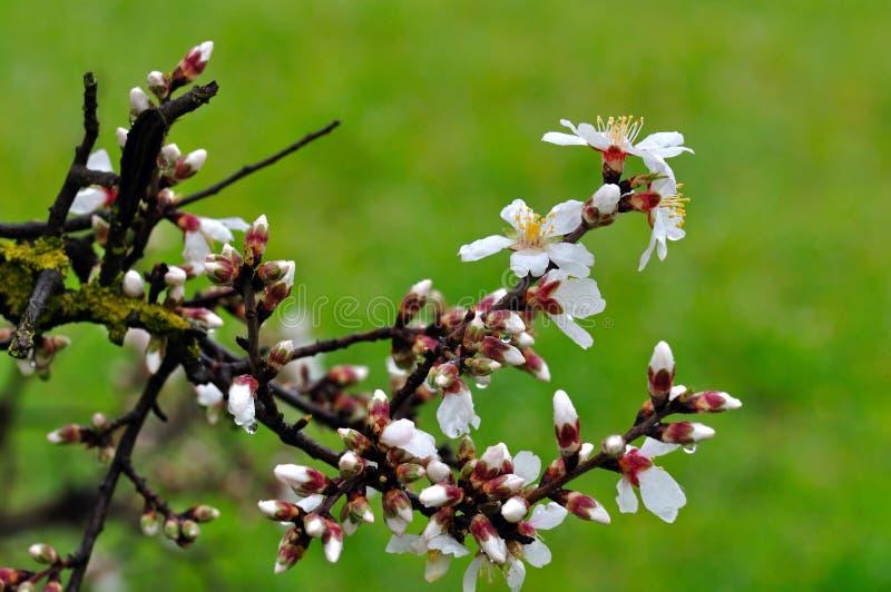 Mandelknoppar och blommor efter regna arkivbilder