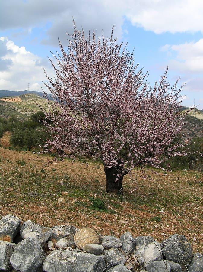 Mandelträd i blom med molnig himmel royaltyfria foton