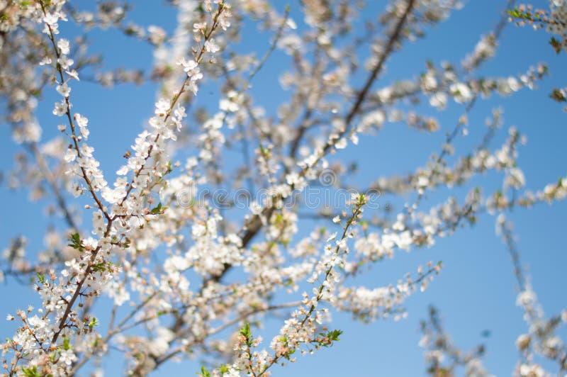 Mandelträd i blomning över blå himmel royaltyfri bild