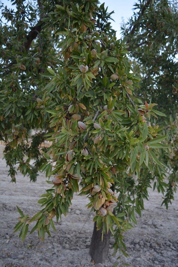Mandelträd i en fruktträdgård som täckas i mandlar royaltyfri foto