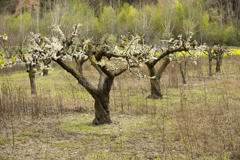 Mandelträd som blommar i fruktträdgård arkivbild