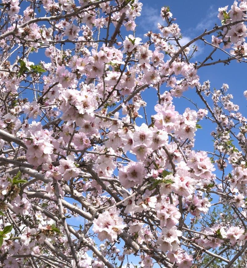 Mandelträd som på våren blommar i de Latrun kullarna i området av Jerusalem i Israel arkivbilder