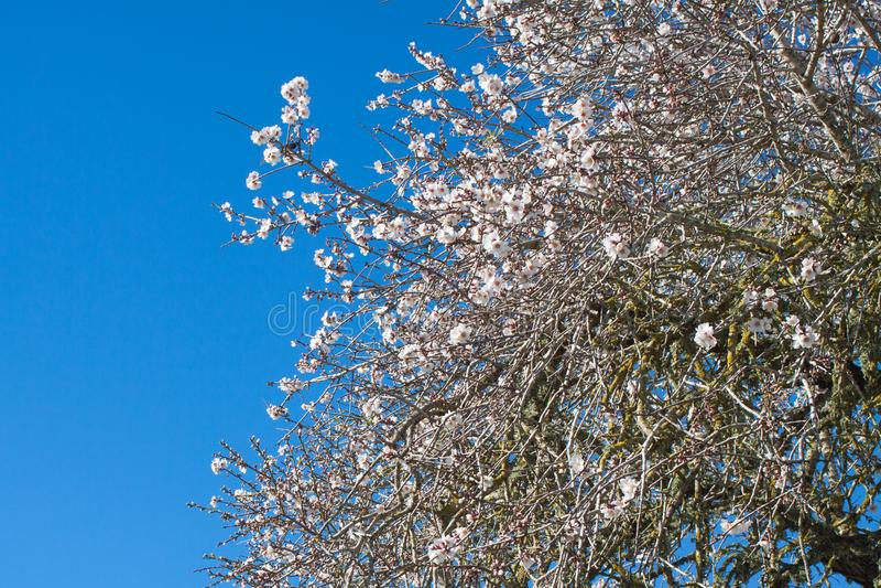Mandelträdet blommar mot den blåa himlen i Costitx, Mallorca, Spanien arkivfoto