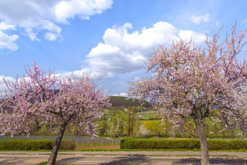 Mandelträdet med rosa färger blomstrar den sydliga vinrutten Ger för landskapet arkivbilder