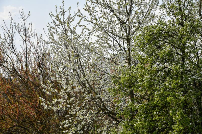 Mandeltr?d som blommar i frukttr?dg?rd mot bl?tt, v?rhimmel Tr?den ?r blommande arkivfoton