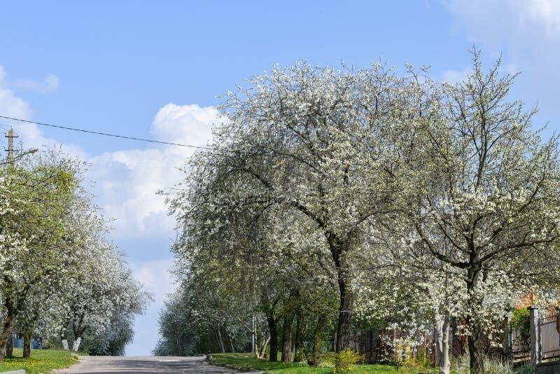 Mandeltr?d som blommar i frukttr?dg?rd mot bl?tt, v?rhimmel Tr?den ?r blommande fotografering för bildbyråer
