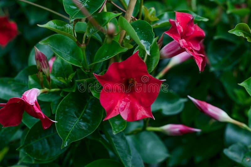 Mandevillabuske Röd Dipladenia på grön naturlig bakgrund t?t blommared upp yellow f?r modell f?r hj?rta f?r blommor f?r fj?rilsdr arkivbild