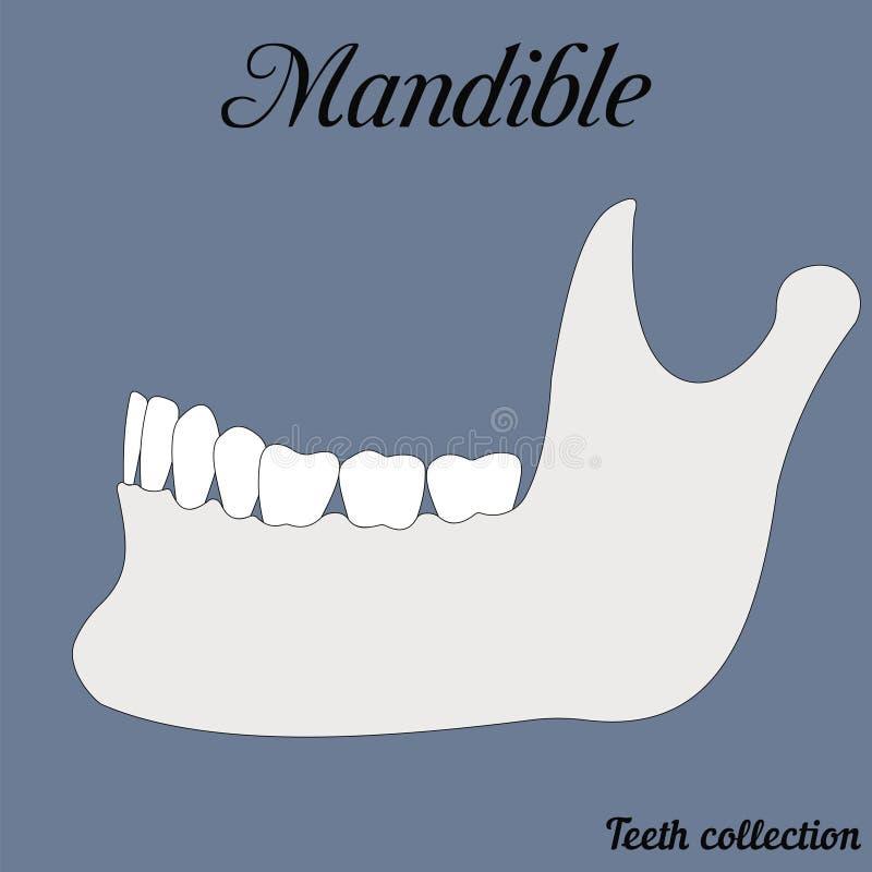 Mandible vector illustration