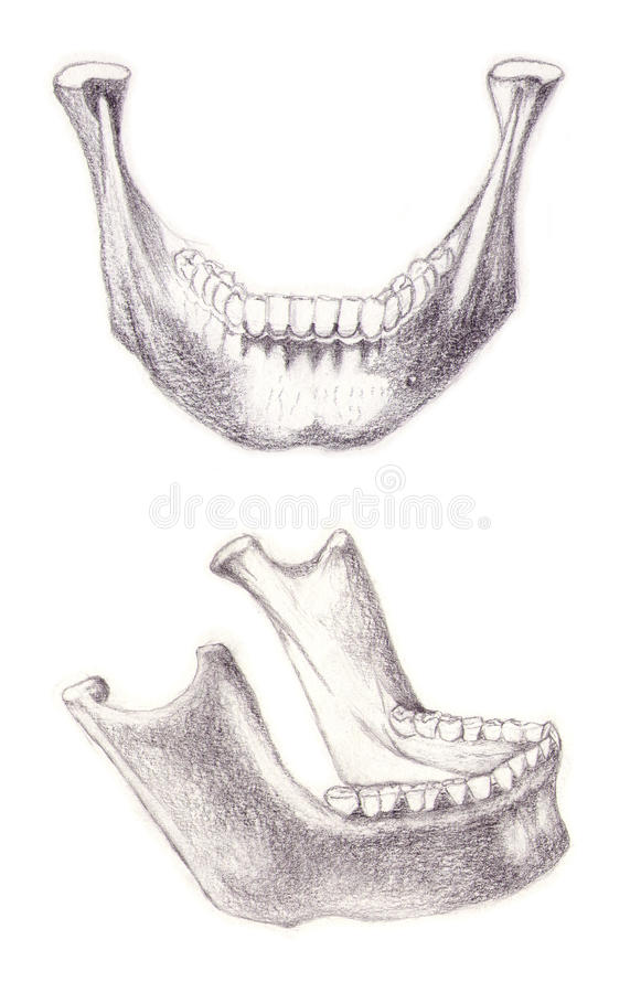 Mandible bone royalty free stock images