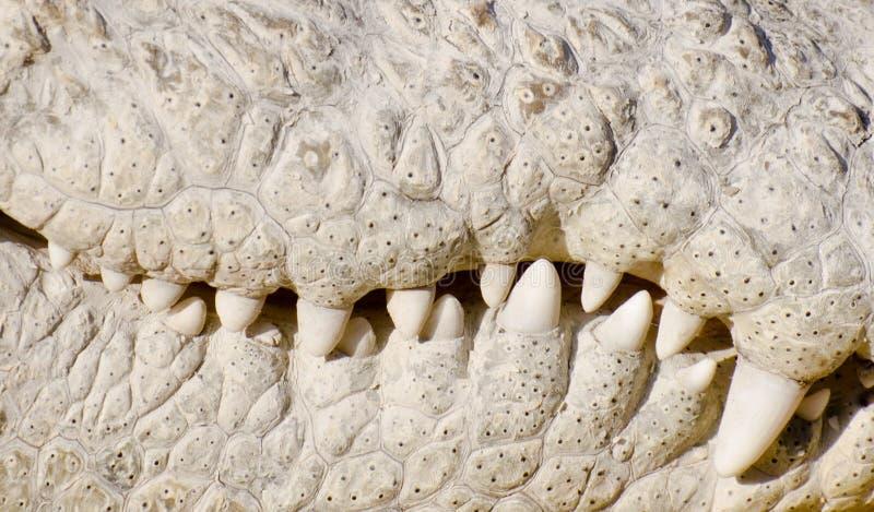 Mandibola indiana del coccodrillo del coccodrillo palustre fotografia stock