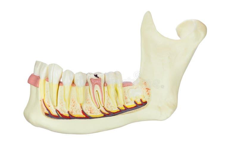 Mandibola umana di modello con i denti isolati su fondo bianco fotografia stock libera da diritti