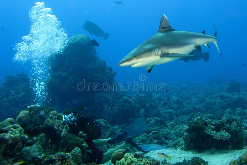 Mandibole di uno squalo di grey pronte ad attaccare il ritratto alto vicino del underwater fotografie stock