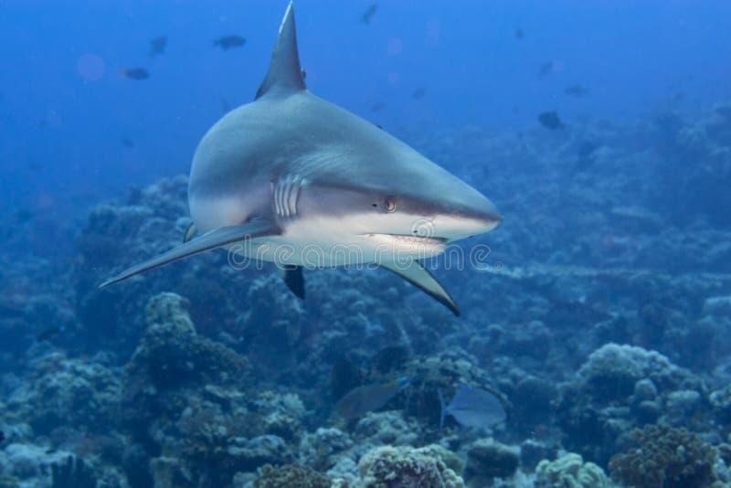 Mandibole di uno squalo di grey pronte ad attaccare ritratto subacqueo immagine stock libera da diritti