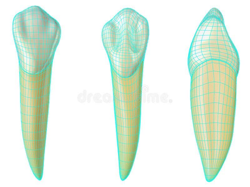 Mandibular hoektand in de vestibulaire, palatale en zijmeningen met blauw neon die wireframe de tand verpakken Realistische 3d vector illustratie