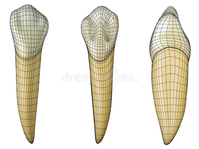 Mandibular hoektand in de vestibulaire, palatale en zijmeningen met zwarte wireframe die de tand verpakken Realistische 3d vector illustratie