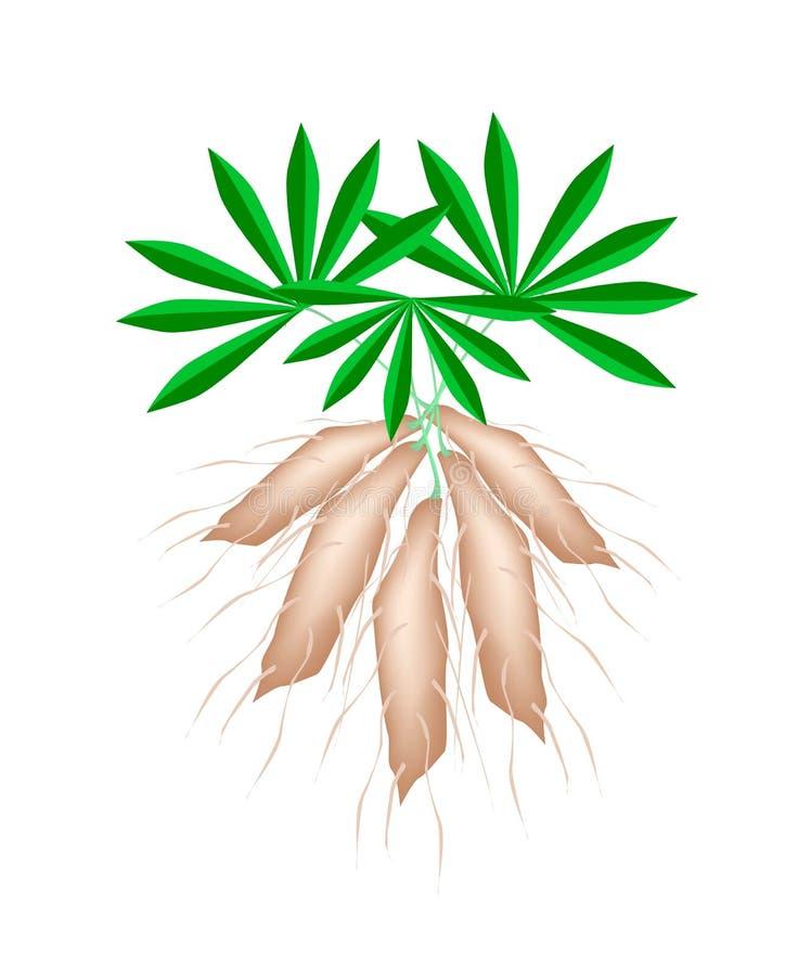 Mandioca fresca das plantas de tapiocas no fundo branco ilustração stock