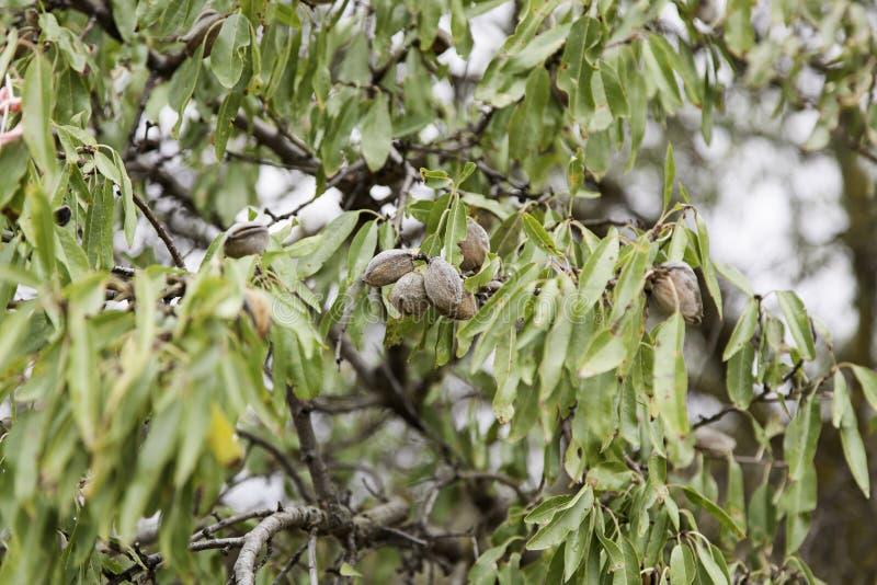 Mandlar på ett träd arkivbild