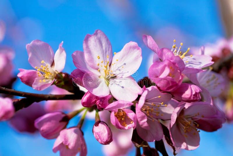 Mandorla in primo piano della fioritura fotografia stock libera da diritti