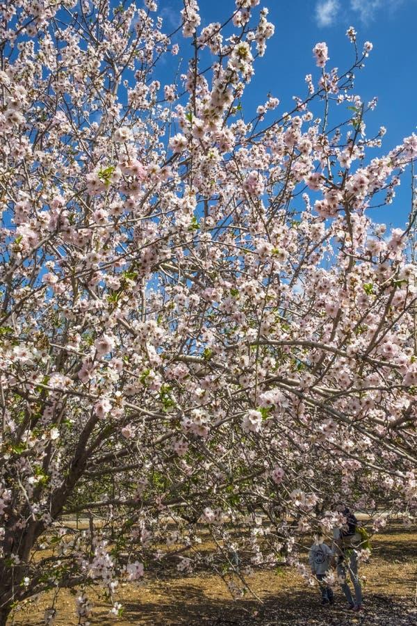 Mandorli che fioriscono in primavera nelle colline di Latrun nella regione di Gerusalemme in Israele fotografie stock libere da diritti