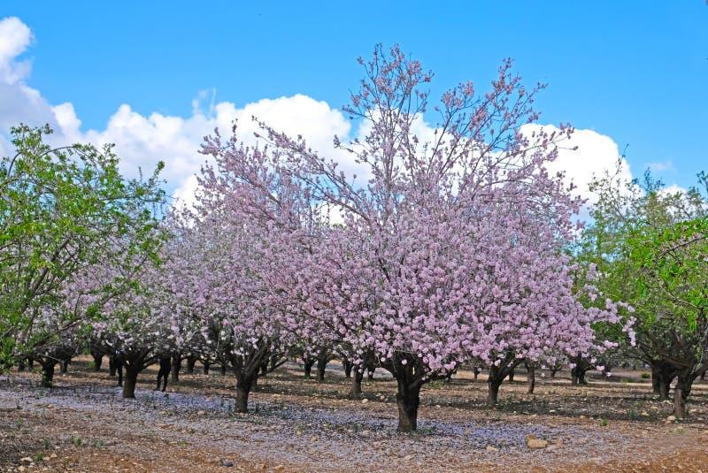 Mandorli che fioriscono in primavera nelle colline di Latrun nella regione di Gerusalemme in Israele fotografia stock libera da diritti