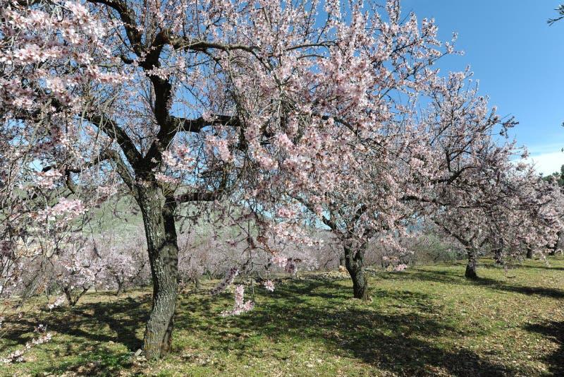 Mandorli coperti in fiore rosa profumato delicato fotografie stock