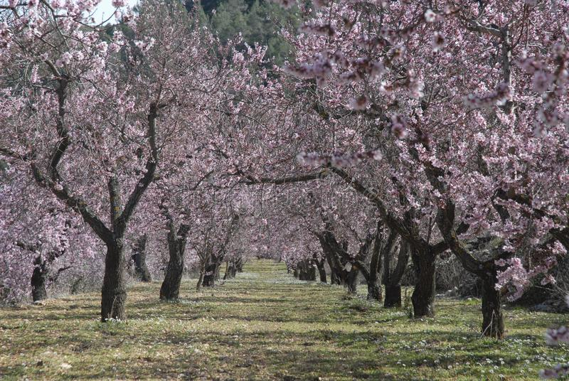 Mandorli in un frutteto coperto in fiore rosa fotografia stock libera da diritti