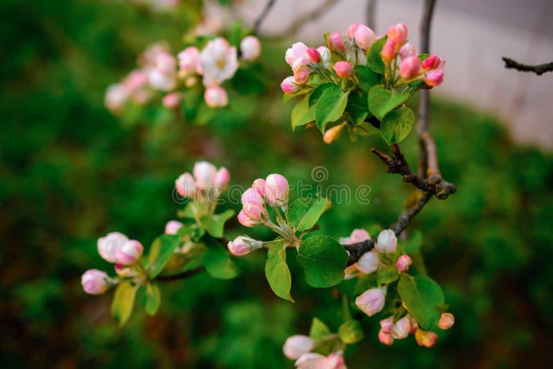 Mandorlo di fioritura sui precedenti del cielo blu immagini stock libere da diritti