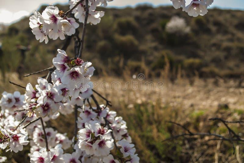Mandorlo in fioritura nel fiore della mandorla di primavera immagini stock