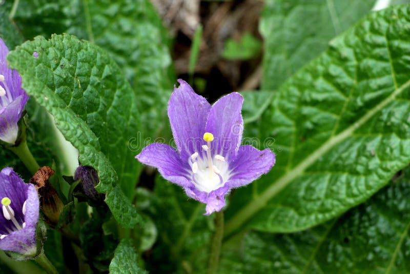 Mandrake花,曼陀罗草officinalis 库存图片