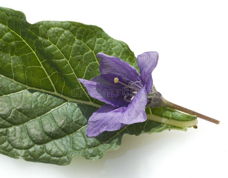 Mandrake; Mandragora officinarum stock photos