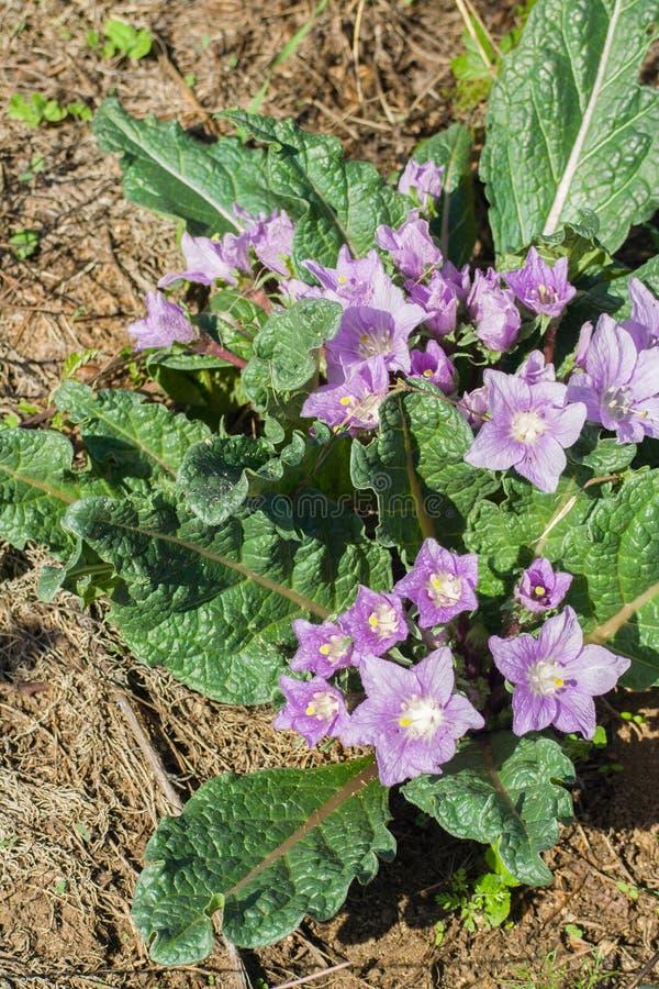 Mandrake mandragoraofficinalis arkivfoto