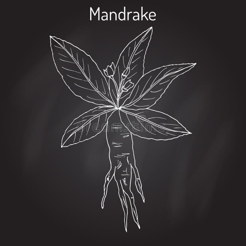 Mandrake Root Or Mandragora Officinarum Stock Vector