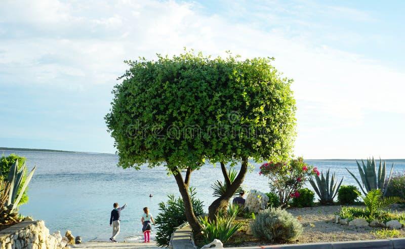 Mandre, Eiland Pag, Kroatië, Jun 22, 2018 Kinderen door het overzees bij het strand spelen, en mooie boom die in de voorgrond royalty-vrije stock afbeelding