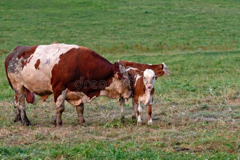 Mandria di mucche in un paesino di montagna, Carinzia, Austria fotografia stock