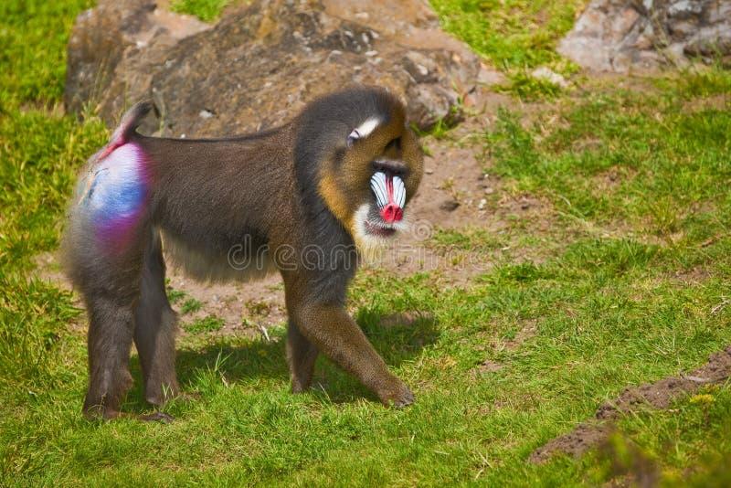 Mandril (sfinx Mandrillus). royalty-vrije stock afbeelding
