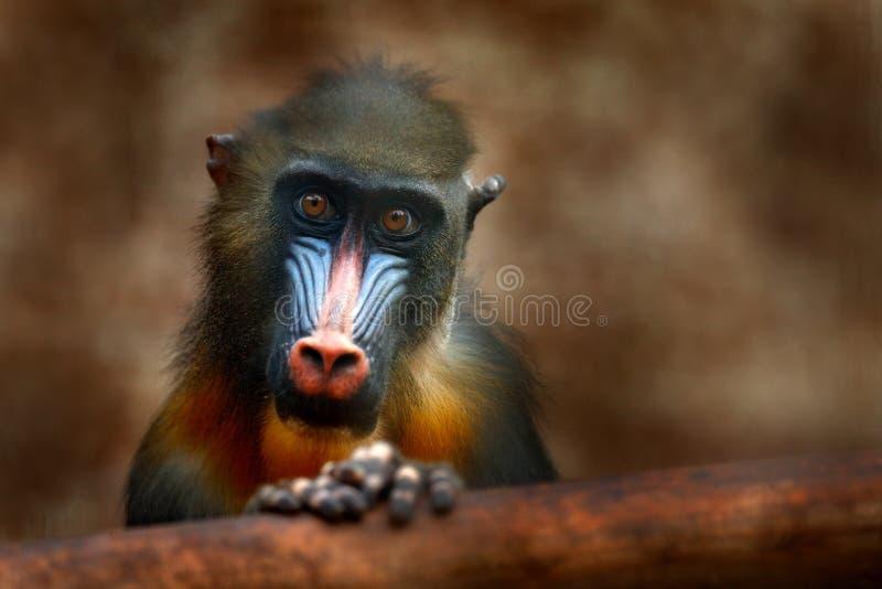 Mandrill,山魈属狮身人面象,大主教猴子,坐在黑暗的热带森林动物的树枝在自然栖所,在森林De里 免版税库存照片
