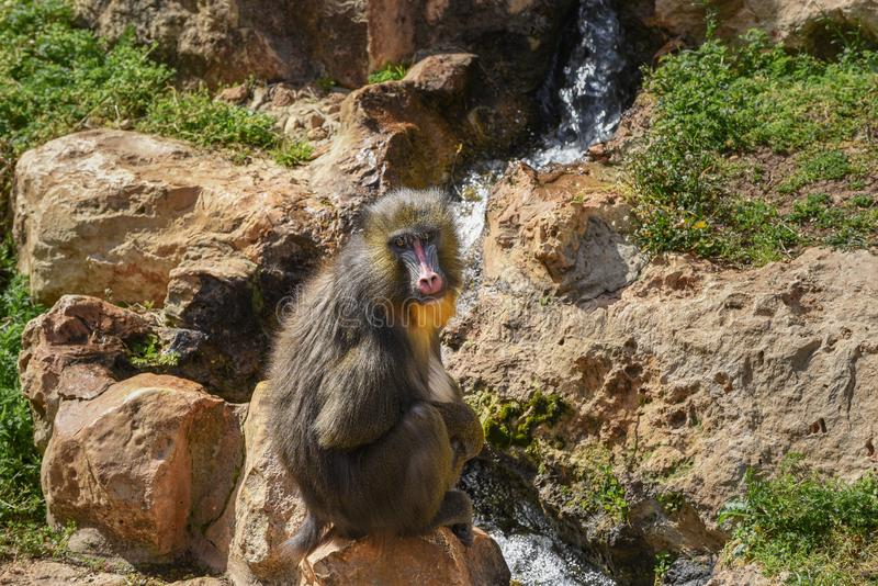 Mandrill,山魈属狮身人面象 关闭一男性mandrill坐直以瀑布为背景 库存照片
