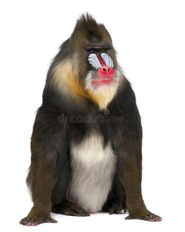 Mandrill, Mandrillus狮身人面象 免版税库存图片