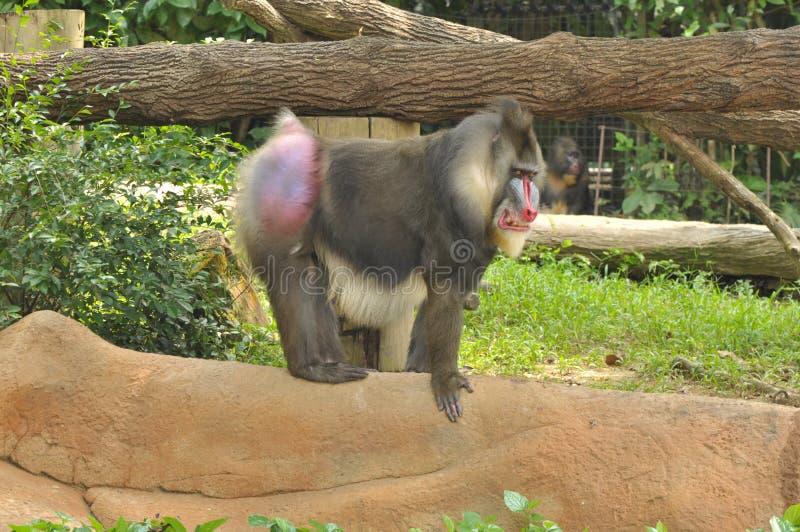 Mandrill στο ζωολογικό κήπο της Σιγκαπούρης στοκ εικόνες