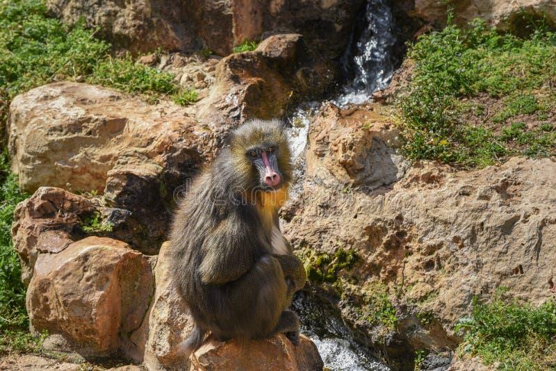 Mandrill, сфинкс мандрилов Закройте вверх мужского mandrill сидит на фоне водопада стоковые фото