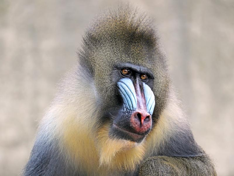 mandrill στοκ φωτογραφία με δικαίωμα ελεύθερης χρήσης