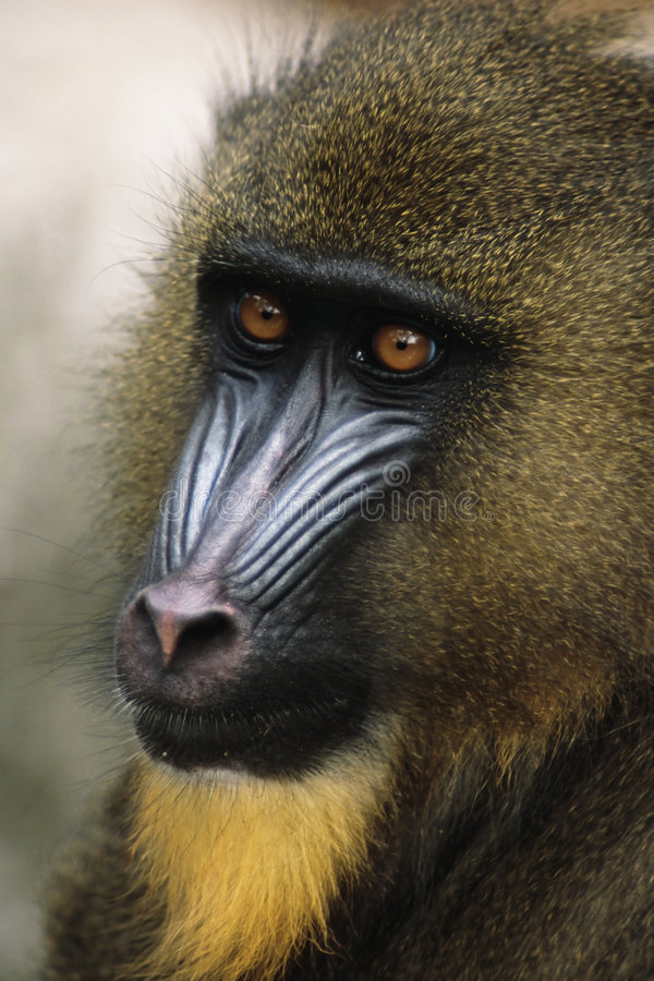 Mandrill. (Papio sphinx) Native to small area of western Africa just above the Equator royalty free stock photo