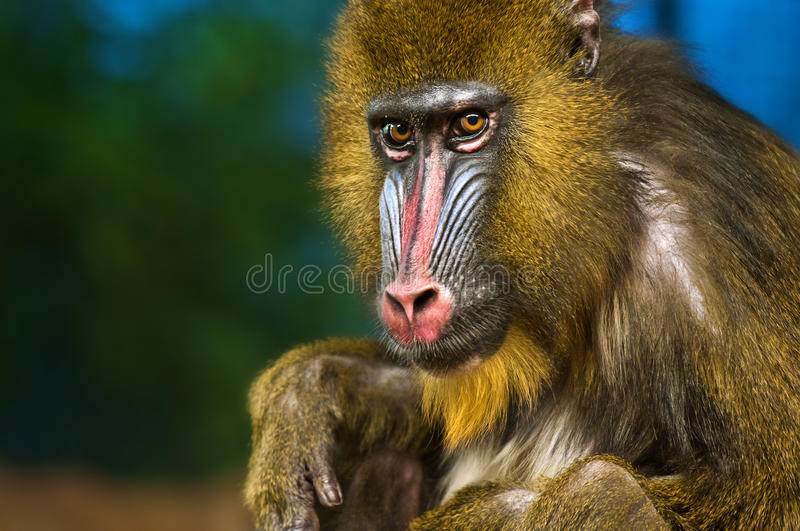 Mandrill. Bright Colored Adult Male Mandrill close-up portrait stock image