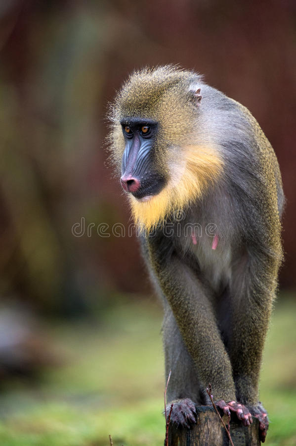 Mandrill. Male mandrill perched on wooden post royalty free stock photo