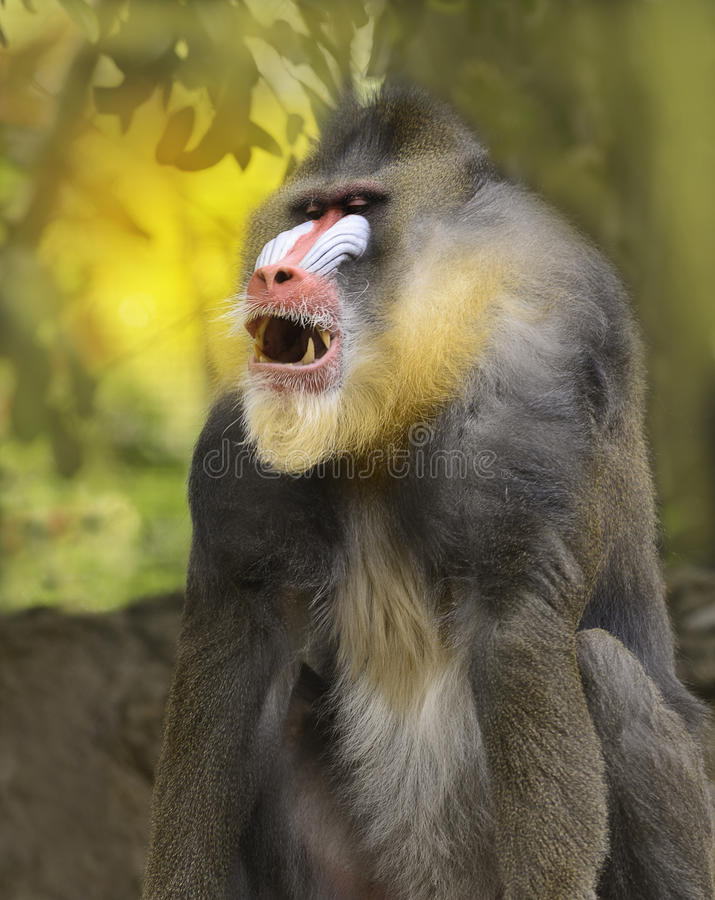 mandrill photographie stock