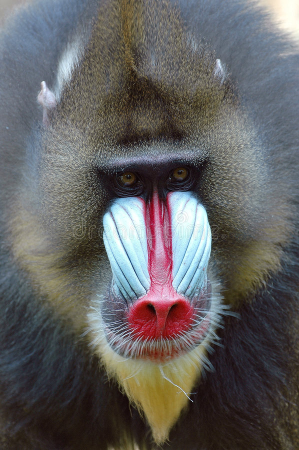 Mandrill. (us sphinx) portrait stock image