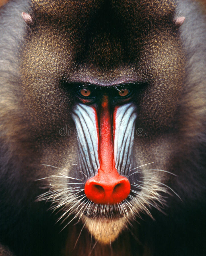 Free Mandrill Stock Photo - 42817100