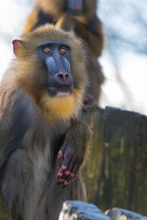 Mandrill 2016-01-14-00167 stock photo