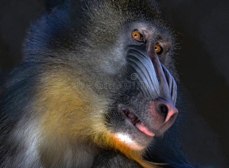 mandrill fotos de stock royalty free